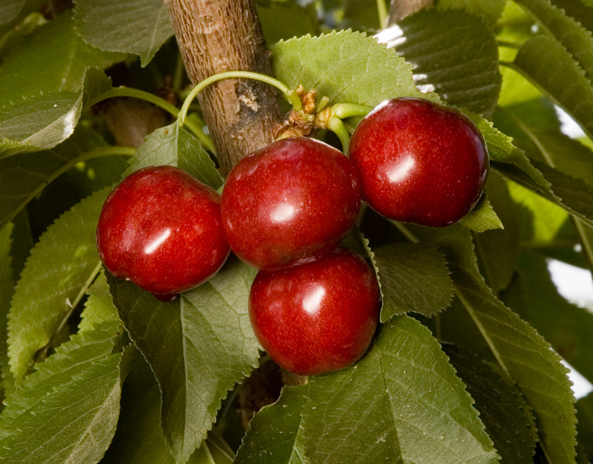 Fruit Tree Varieties 2019