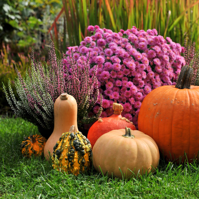 Fall Garden with Mums, Pumpkins and Lawn