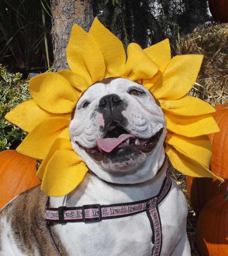 Bulldog with Sunflower Hat