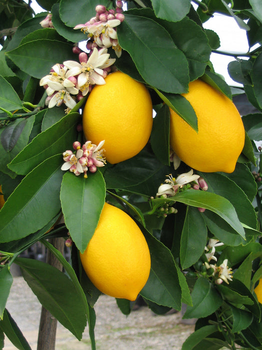 Tips For Growing Citrus