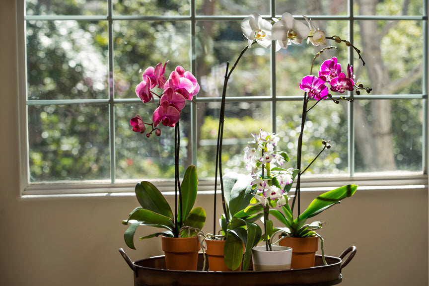 Orchids in a Window