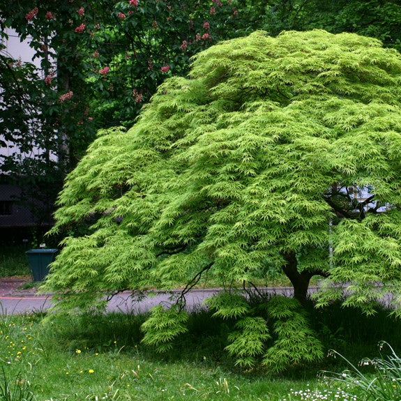 Mature Green Japanese Maple