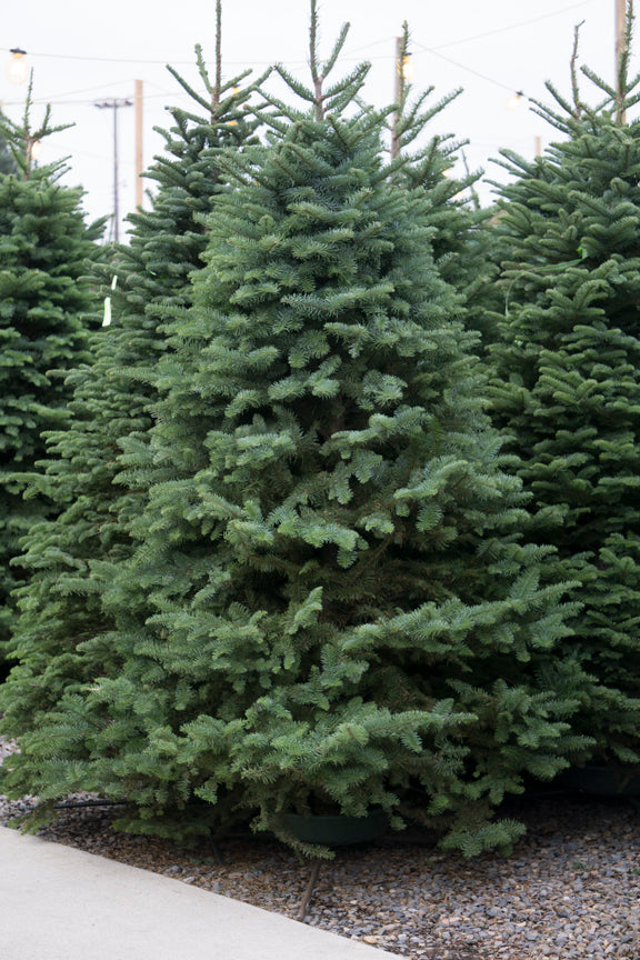 Noble Fir tree