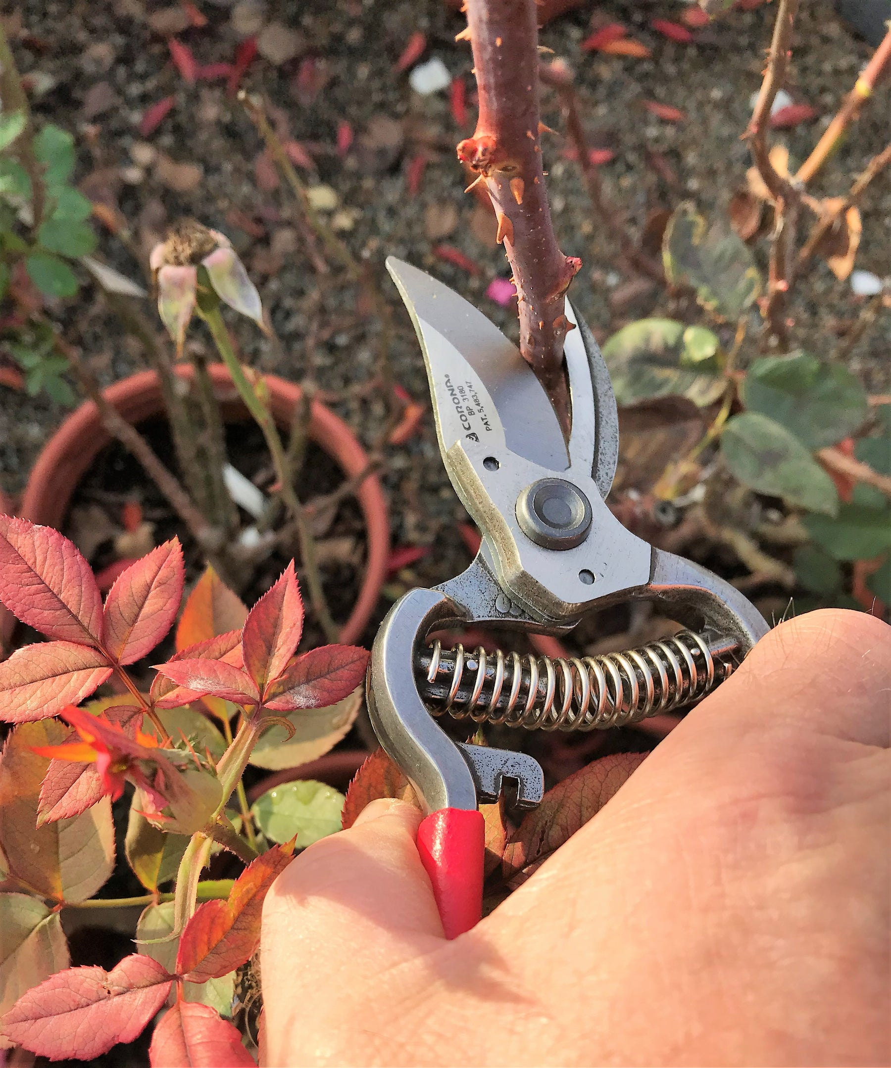 Pruning Rose Bush