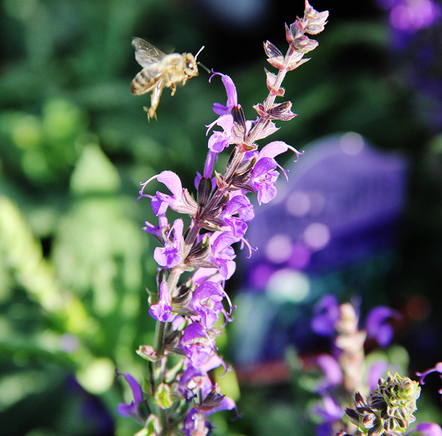 Bee on Salvia