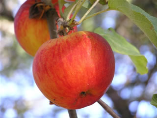 Antique Apple Varieties