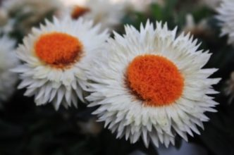 White and orange flowers