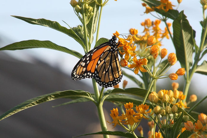 Monarch butterfly in a pollinator garden