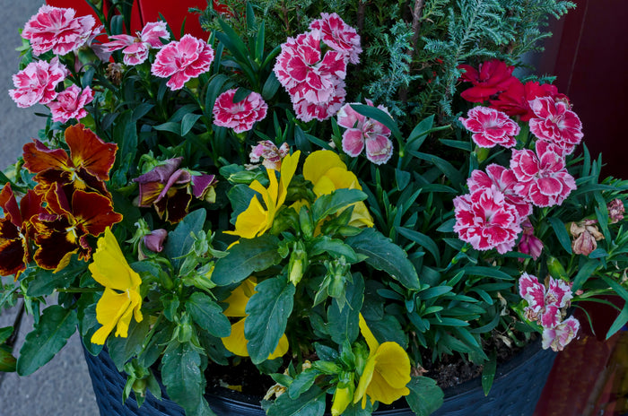 Pansies and Dianthus in a pot