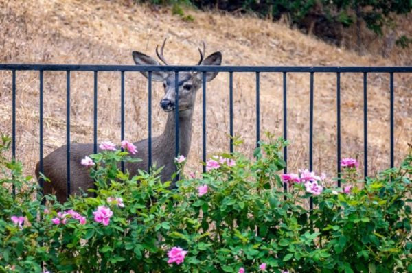 Deer by outdoor fence