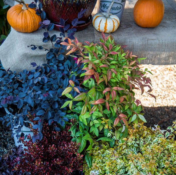 Display of colorful fall shrubs