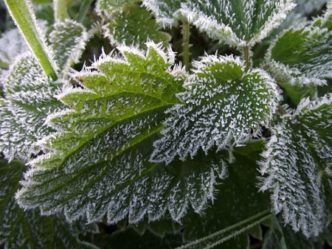 Frost on plants