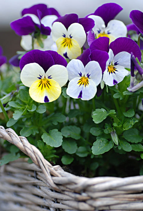 Pansy flowers in a basket
