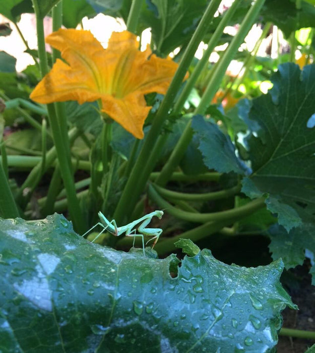 Praying mantis on squash plant