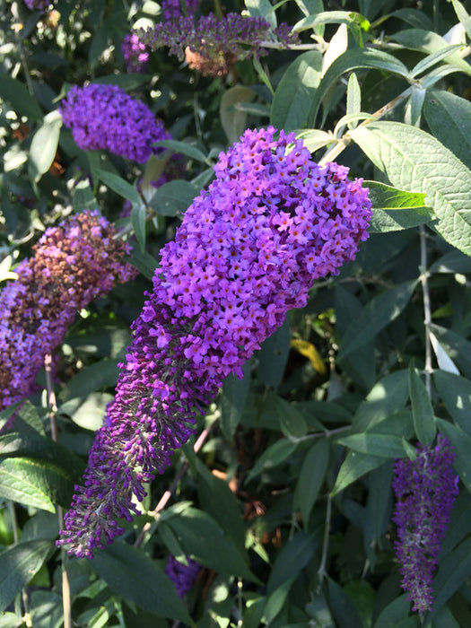 Purple Butterfly Bush