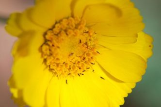 Thrips on Yellow Flower