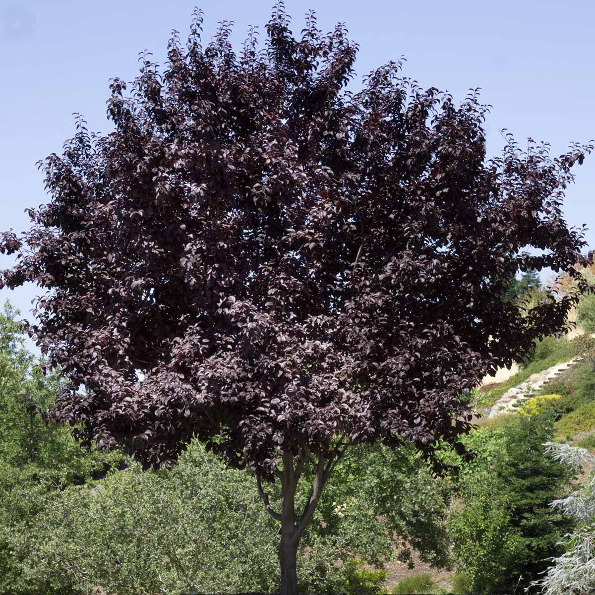 Trees Tagged Deciduous Shade Trees Green Acres Nursery Supply