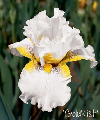 Bearded Iris Gold Kist flower