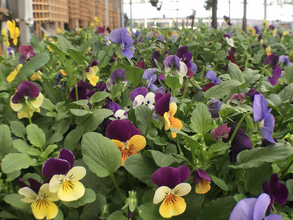 Pansies and Other Cool-Season Annuals available now!