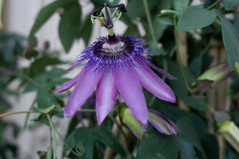 Passion Flower 'Lavender Lady'
