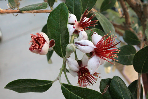 Pineapple Guava white petals and red flowers