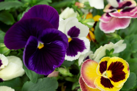 Pansies in many colors