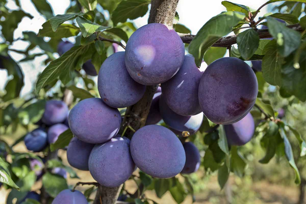 Plum Fruit Tree Available as a Bareroot Fruit Tree!