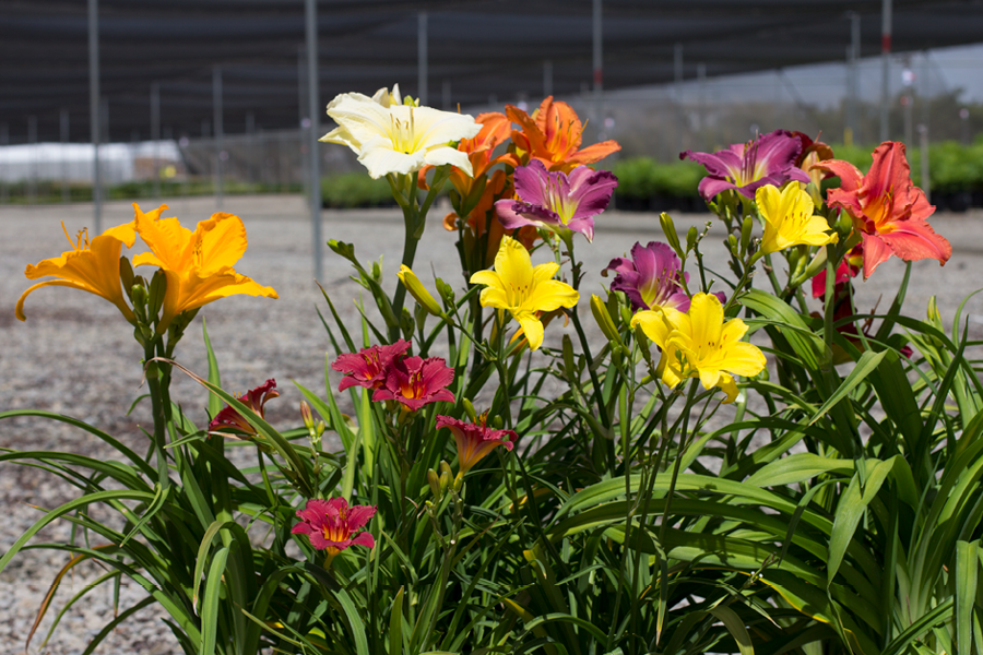 Daylilies on Hot Buy!
