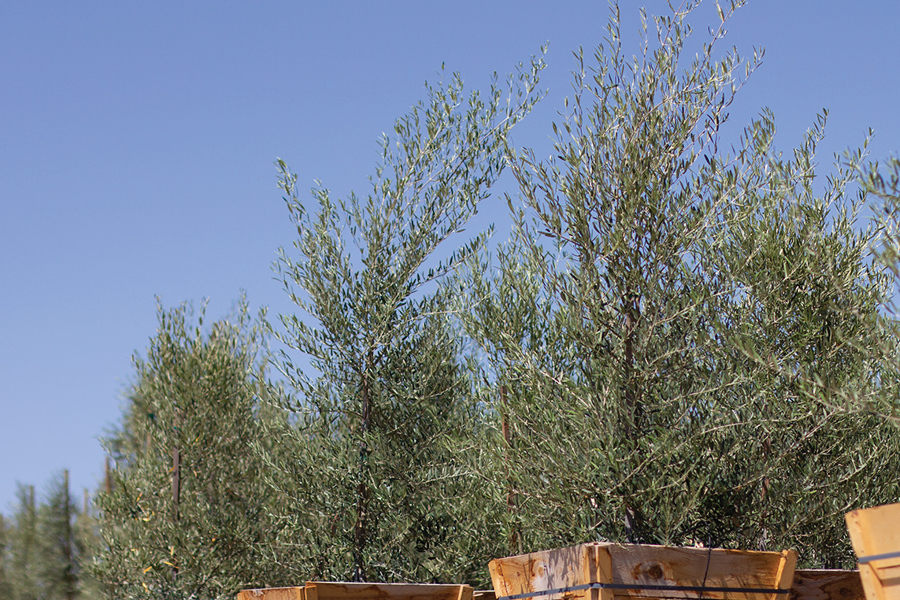 Olive Trees at Green Acres Nursery & Supply