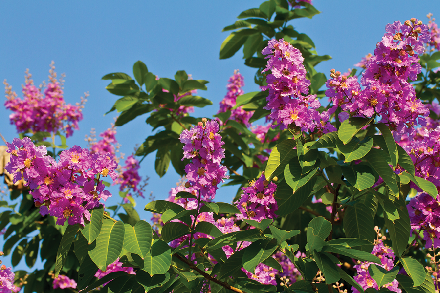Crape Myrtles are hot for the summer