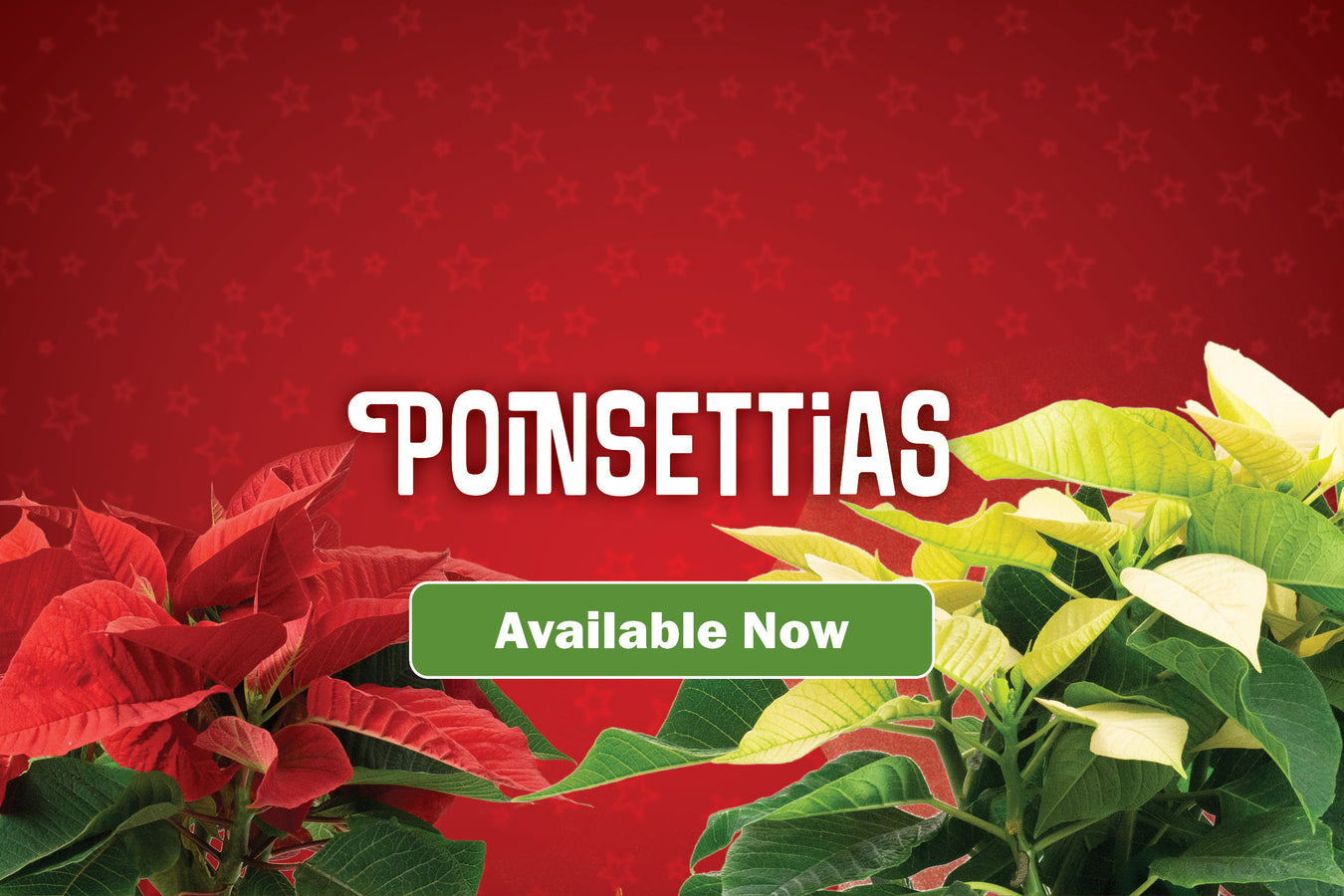 Poinsettias Now Available