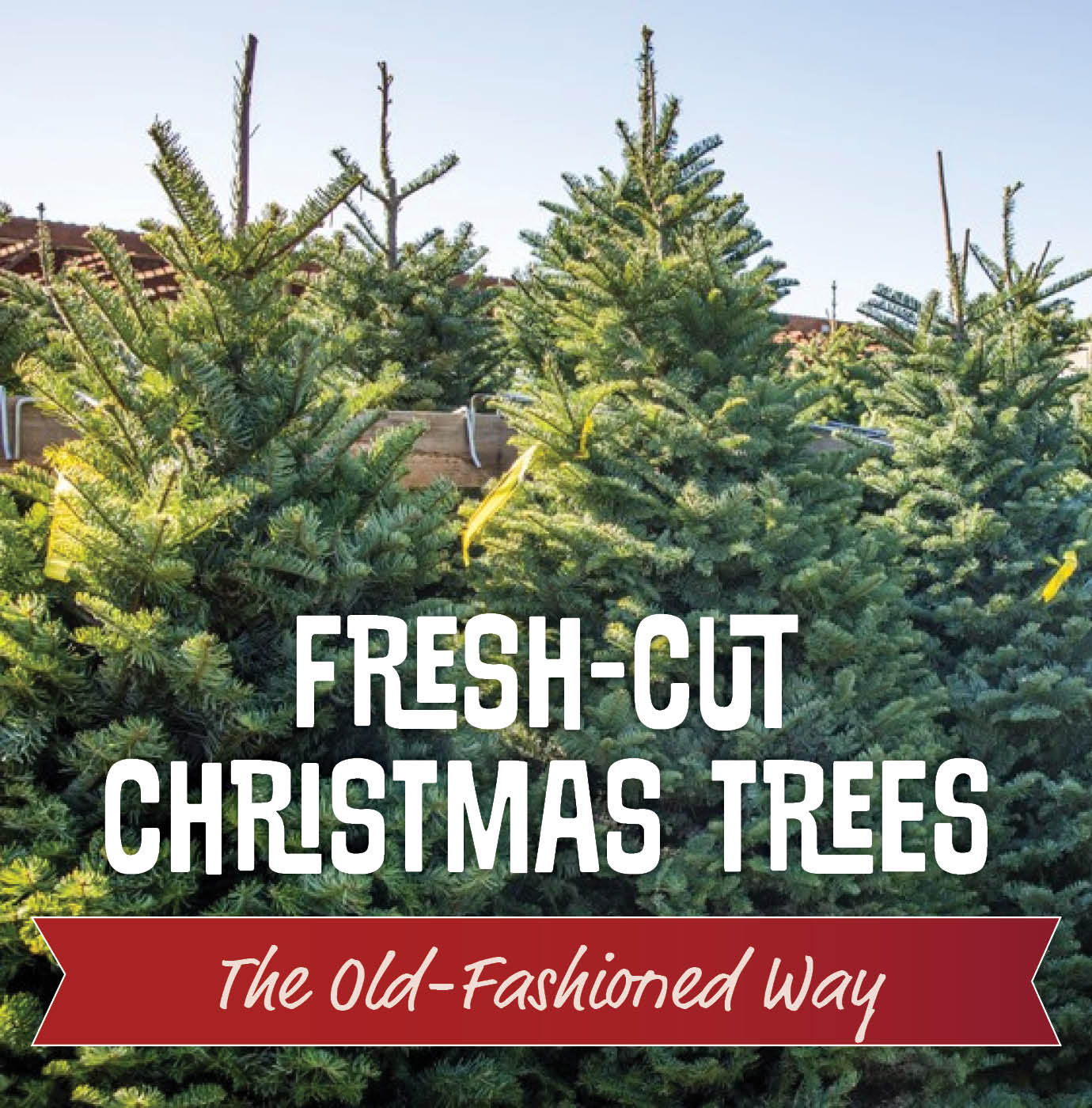 Fresh-Cut Christmas Trees The Old-Fashioned Way