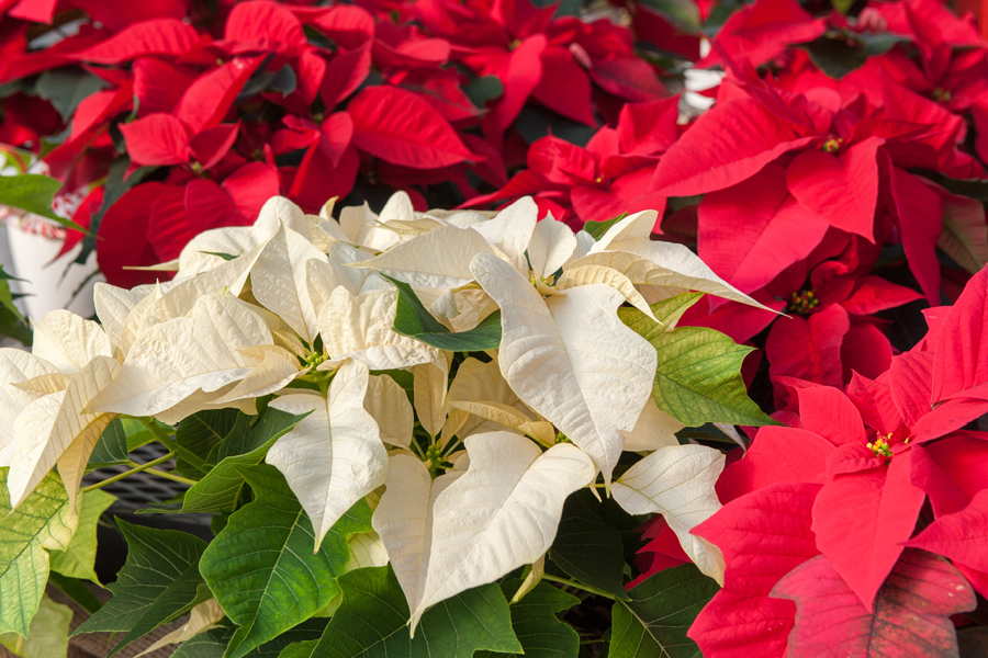Colorful Poinsettias at Green Acres Nursery & Supply