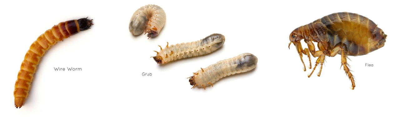 wire worm flea and grub insects