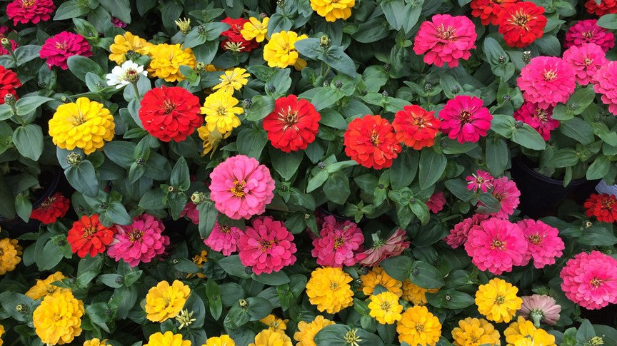Zinnias in red, pink, yellow and orange.