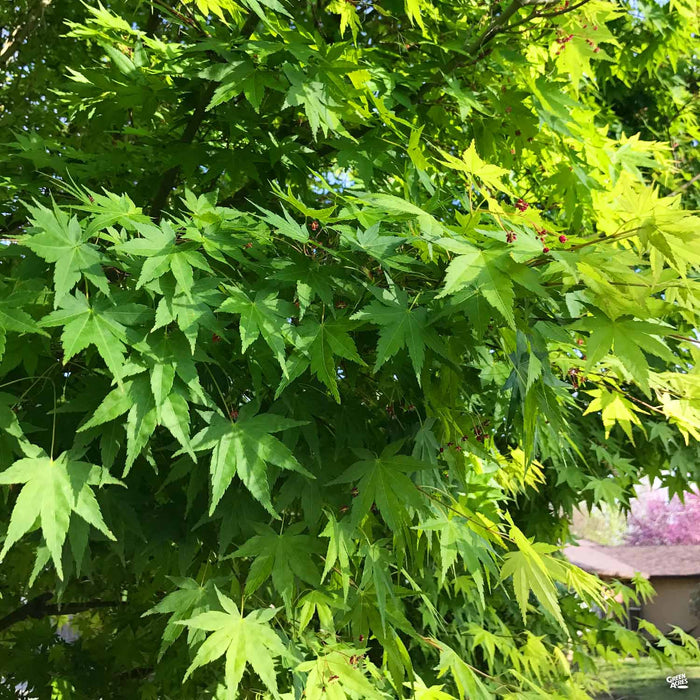 Japanese Maple Multitrunk