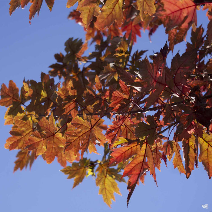 Red Maple 'Autumn Blaze' in Fall Colors