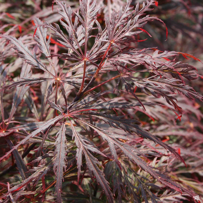 'Crimson Queen' Japanese Laceleaf Maple
