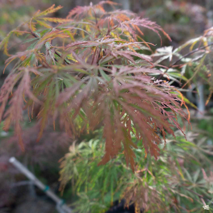 'Garnet' Japanese Laceleaf Maple