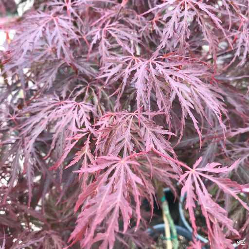 'Red Dragon' Japanese Laceleaf Maple