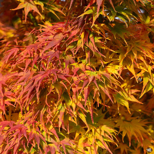 Mikawa Yatsubusa Dwarf Japanese Maple Fall Colors