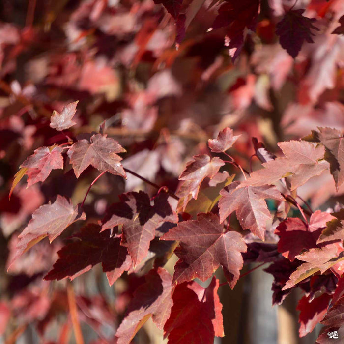 Fall colors of Red Maple 'October Glory'