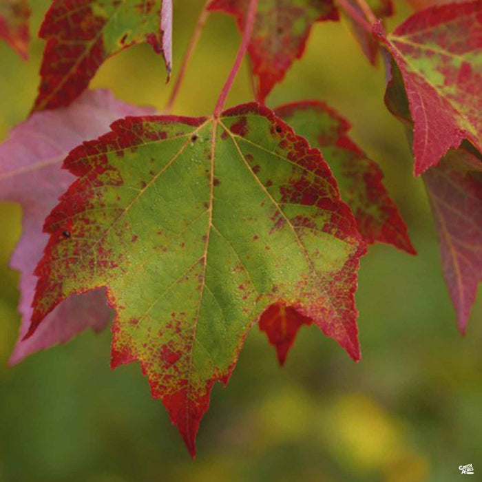 Red Maple 'Brandywine'