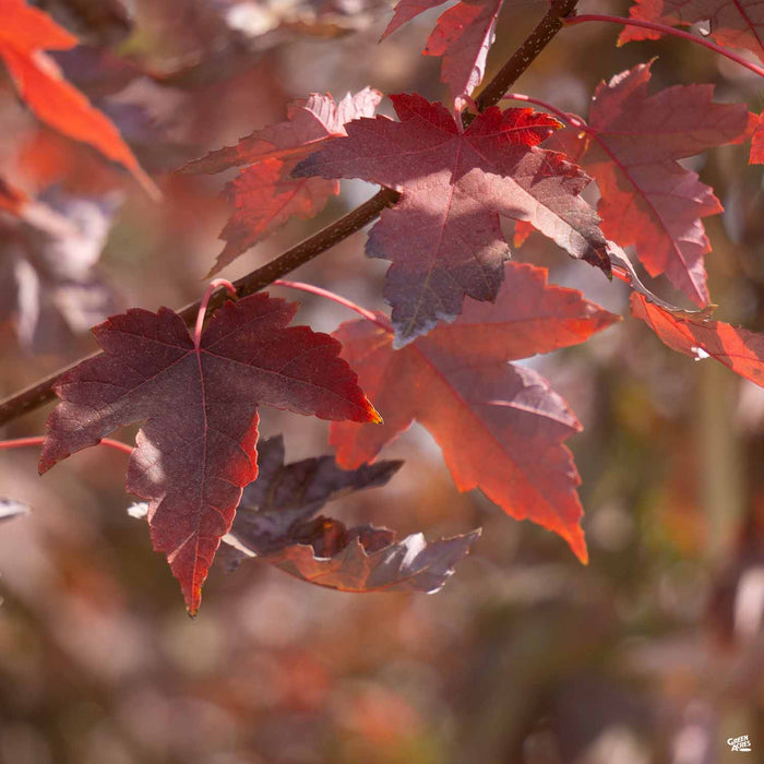 Red Maple 'Redpointe'