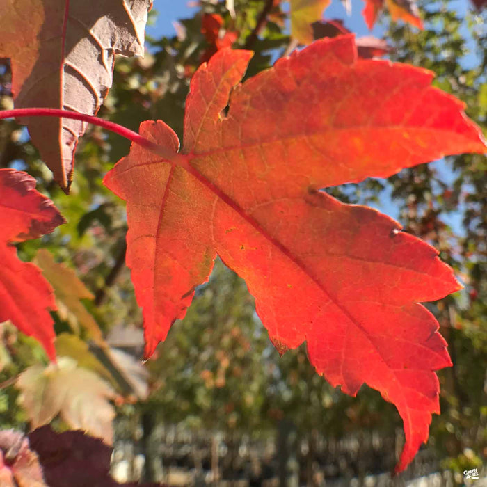 Red Maple 'Redpointe' Leaf