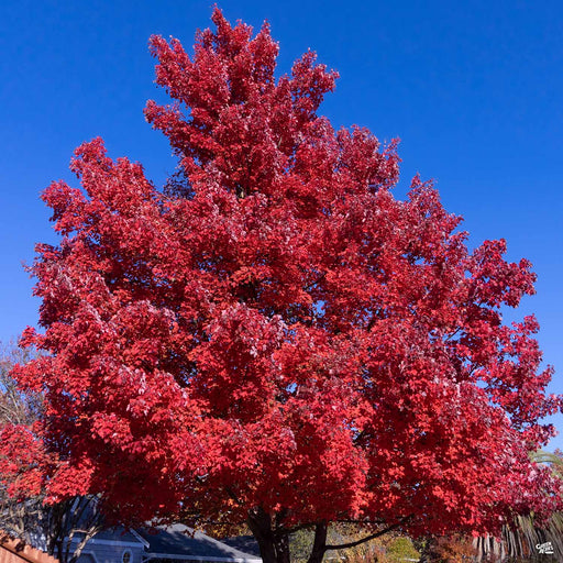 Red Maple 'Red Sunset'