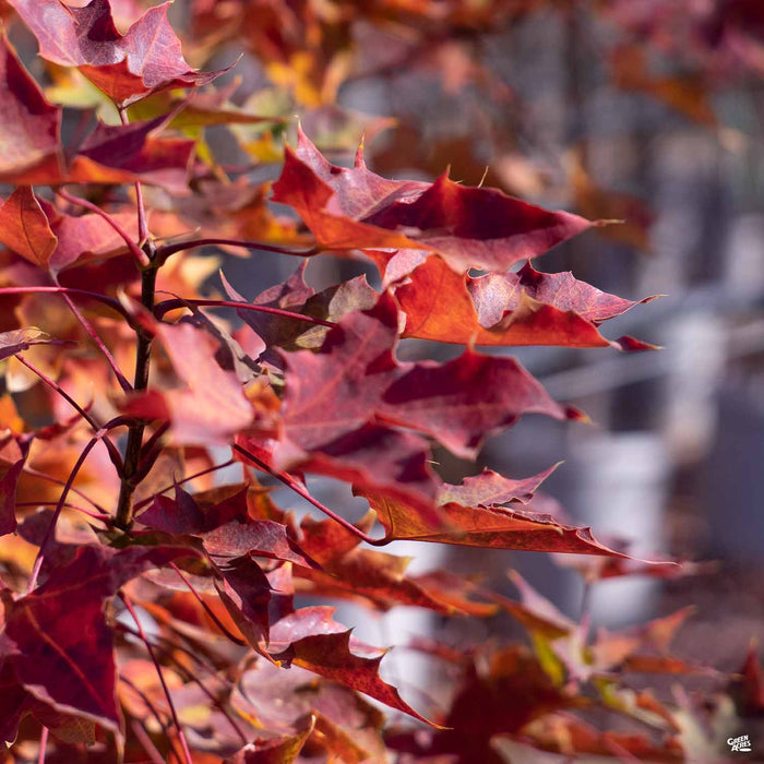 Red Maple 'Pacific Sunset'