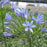 Agapanthus 'Peter Pan' bloom