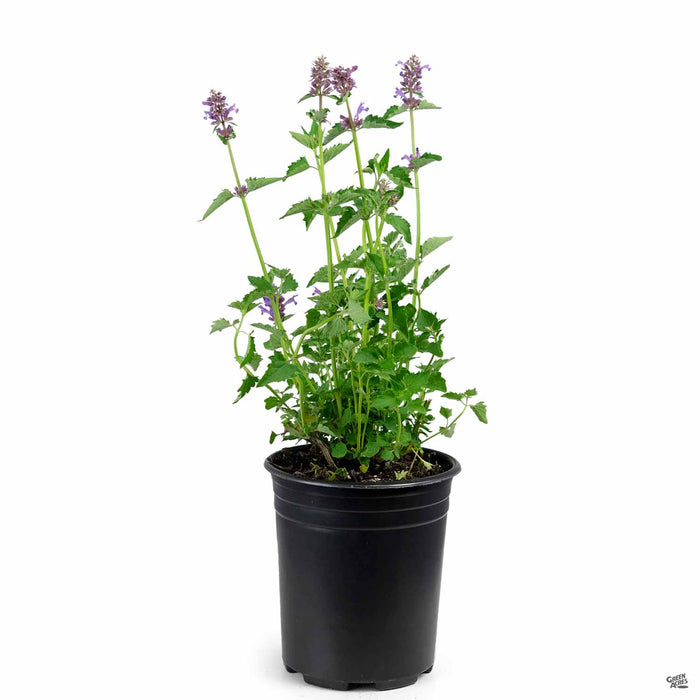 Agastache 'Blue Boa' 1 gallon