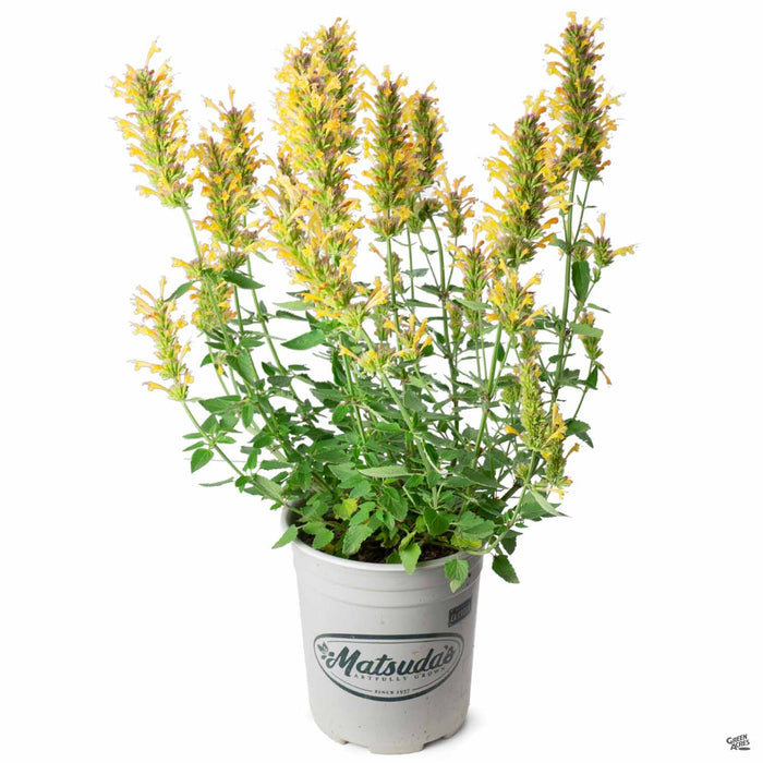 Agastache 'Kudos Gold' 1 gallon